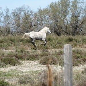 white horse at play